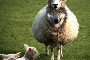 wolves-in-sheeps-clothing