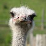 Stupid ostrich Job 39.13