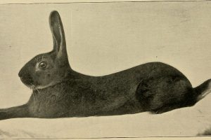 The Black Hare